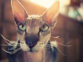 Portrait of beautiful peterbald sphynx cat., closeup on face.