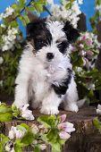Beaver york terrier and flowers