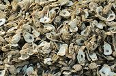 Large Pile of Oyster Shells