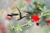 Female Broad-billed Hummingbird and Fairy Duster Flower