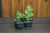 Young Garden Pea Plants in Plant Pots with Shed Background.