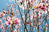foto of japanese magnolia  - Beautiful Japanese Magnolia blossoms against a beautiful sky - JPG