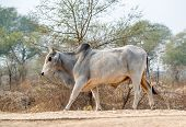 Bull striding on a road