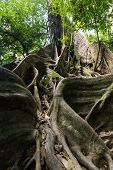 Large fig tree trunk and roots in tropical rainforest, Khao Sok national park, Thailand