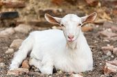 Domestic White Young Goat