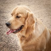 Golden Retriever Dog In Profile Sitting On A Path With Tongue Out And Eyes Down