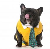 french bulldog wearing shirt and tie with silly expression