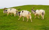 Goats British Primitive goat breed