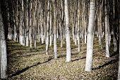 A Roe Of Spring Poplars