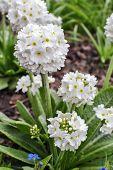 White Primroses Primula Denticulata Alba