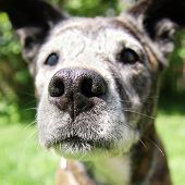 picture of spayed  - a close up of an old senior curious pit bull - JPG