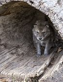 stock photo of hollow log  - Young baby timber wolf or gray wolf pup - JPG