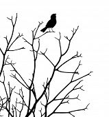 Editable vector silhouette of a bird singing at the top of a bare tree
