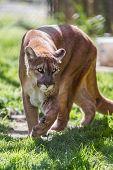Cougar - Puma Concolor Concolor