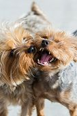 foto of yorkie  - male and female yorki puppies kissing over a grey background