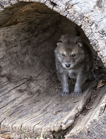 picture of hollow log  - Young baby timber wolf or gray wolf pup - JPG