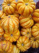 Harvest Gourds