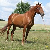 Nice Budyonny Horse Standing On Meadow