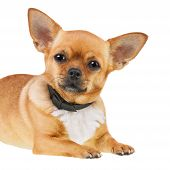Chihuahua Dog In Anti Flea Collar Isolated On White Background.