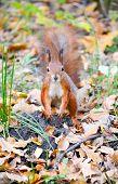 Squirrel In Autumn