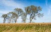 picture of zea  - Agricultural landscape with ripe silage maize on a sunny day in the fall season - JPG