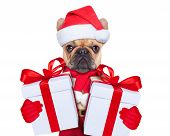 pic of christmas dog  - Santa claus christmas dog wearing a hat with a xmas gift or present for you - JPG