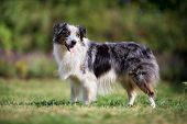 Old Border Collie Dog
