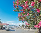 Oleander Tree In Alghero Harbor On A Clear Day