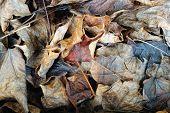 Litter Of Dead Fallen Leaves