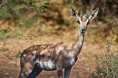 Grants Gazelle In Bogoria, Kenya