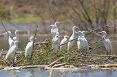Cattle Egrets At Lake Baringo, Kenya