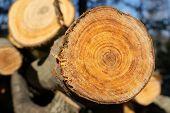 Aspen Growth Rings