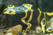 Yellow Banded Poison Dart Frog - Yellow Poison Arrow Frog - Dend