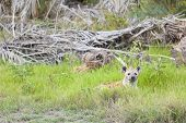 foto of hyenas  - A Hyena hiding in grass in Amboseli National Park in Kenya - JPG