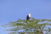stock photo of fish-eagle  - African Fish Eagle on a tree at Lake Naivasha Kenya - JPG
