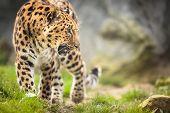 picture of vicious  - Amur Leopard  - JPG