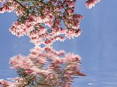 image of japanese magnolia  - water reflection of pink japanese magnolia - JPG