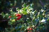 Evergreen Ornamental Holly Tree