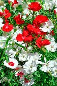Red And White Carnation Flowers On The Garden