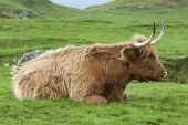 stock photo of highland-cattle  - Close up of a single highland cow lying down in a field on the Isle of Mull Scotland