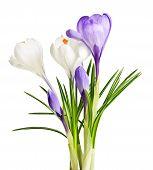 Постер, плакат: Весенние цветы Крокус