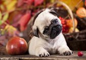 pic of pug  - pug puppy - JPG