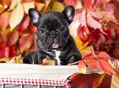 French bulldog and rowan berries