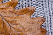 Texture Of A Oak Leaf On Cardigan, Autumn Concept