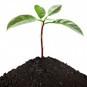 pic of avocado tree  - Young seedling growing in a soil - JPG