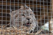 picture of caged  - Lynx in cage - JPG