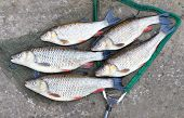 pic of chub  - Catch of fishes - JPG