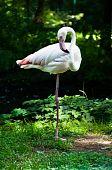 Single Beautiful Flamingo(phoenicopterus Chilensis) Standing On One Leg