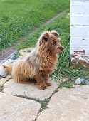 pic of sad dog  - Shaggy redhead dog sadly waiting the host - JPG