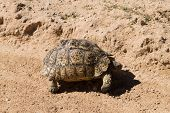 picture of tortoise  - A leopard tortoise cross the road at Kgalagadi National Park South Africa - JPG